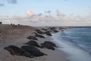green, sea, turtles, climb, onto, beach