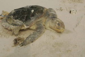 kemp, ridley, sea, turtle, endangered, washes, beach