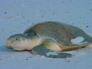 Kemps, ridley, zee, schildpad, lepidochelys kempii