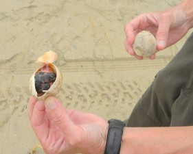 oggerhead, havet, sköldpadda, embryon, ägg