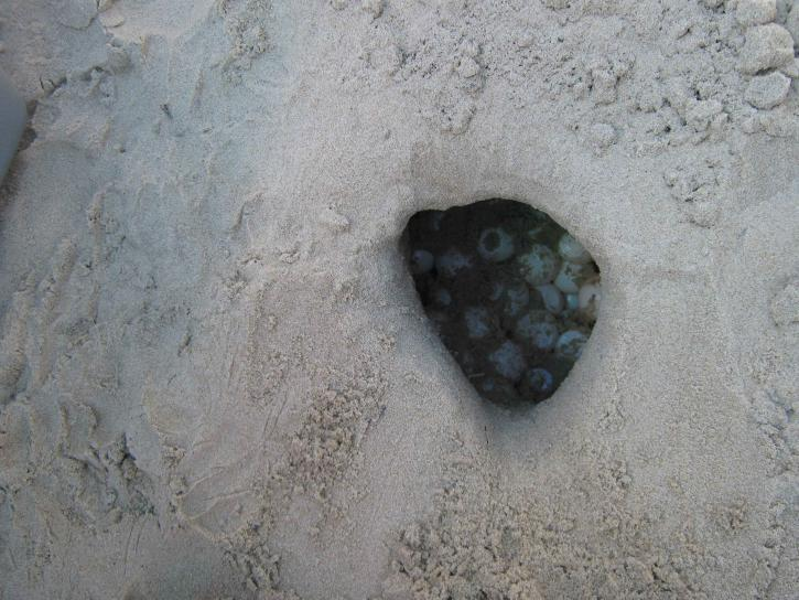 sea, turtle, nest