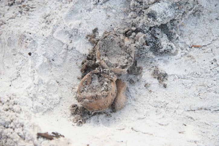 sköldpadda, ägg, krossad, utgrävning