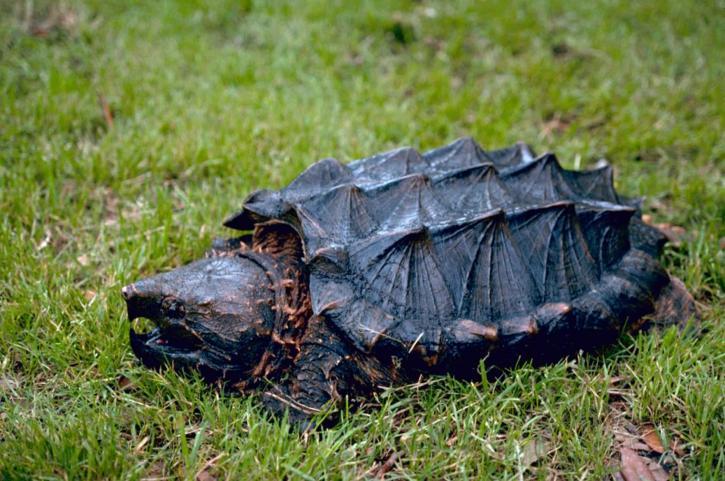 alligator, serpentine, tortue