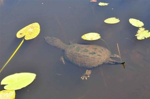 snapping, turtle, swimming, macrochelys, temminckii