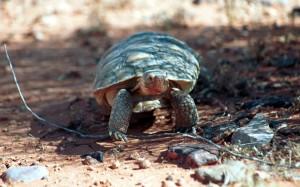 tortue, désert