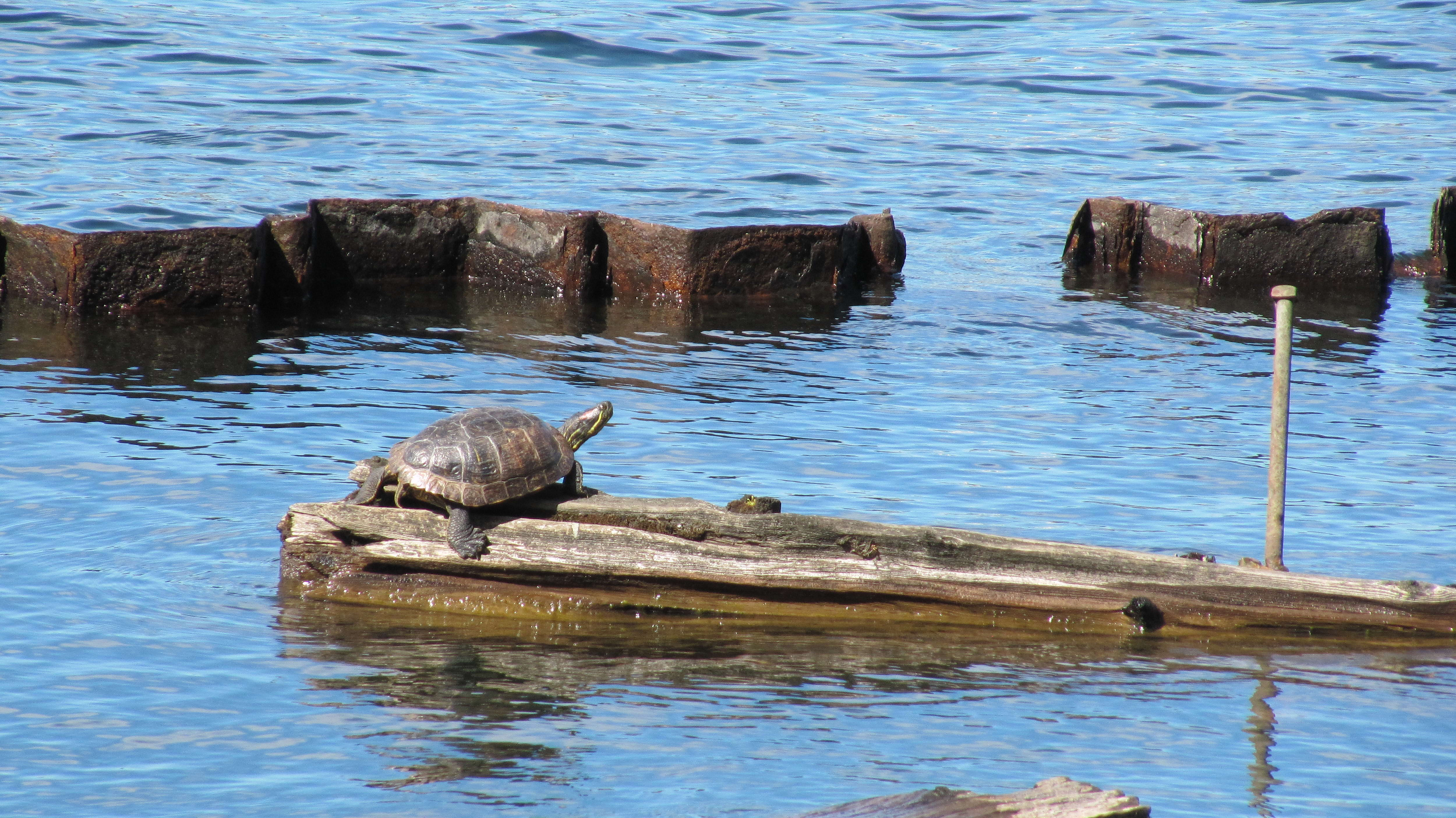 Free photograph; turtle, animal, water