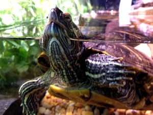turtle, display, tank, pet, store, featured, red, eared, slider, turtle, trachymys, scripta, elegans