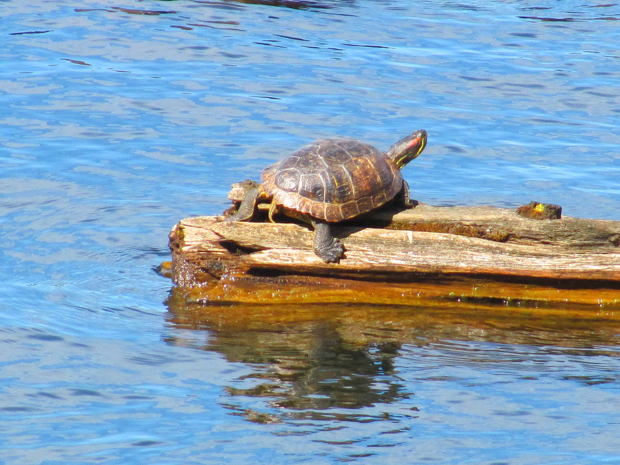 Free photograph; turtle, reptile, peace, wood, water