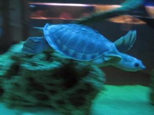 kornjača podvodne