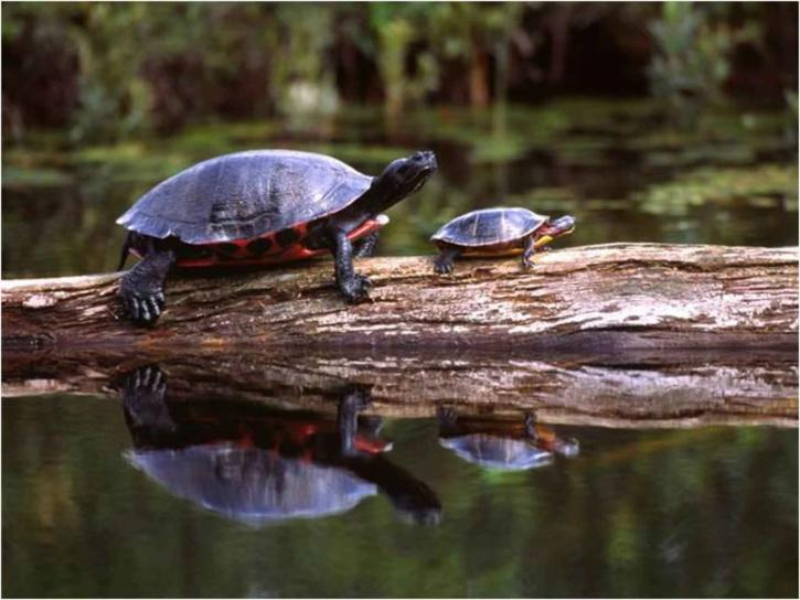 turtles, pseudemys rubriventris, chrysemys picta picta