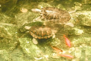 turtles, water