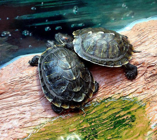 deux, rouge, marais, curseur, tortues, trachymys, scripta elegans, paresseusement, posé