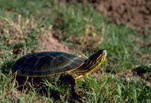 western, painted, turtle, grass, chrysemys, picta, bellii