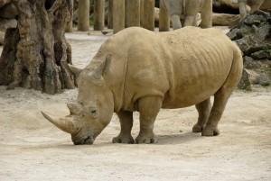 Africains, rhinocéros