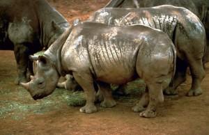 negro, rinocerontes, África