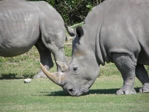 up-close, rhino, animals, grazing