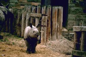 Indiens, rhinocéros, d'Asie, un, cornes, rhinocéros