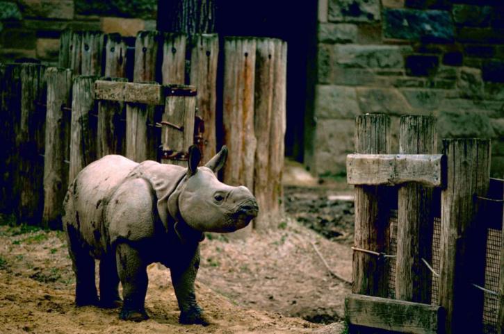 Indien, rhinocéros, plus grand, une, cornu, rhinocéros, unicorniss
