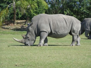 rhinocéros, animaux, pâturage