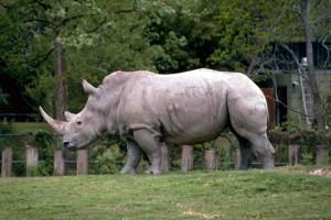 blanc, rhinocéros, carré, lèvres, rhinocéros, africaine, mammifère, ceratotherium, simum