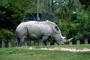 blanco, rinoceronte, cuadrada, labios, rinoceronte, animal, ceratotherium, simum
