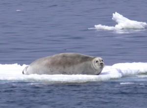 barbu, lion de mer, pose, glace