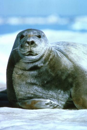 bearded, sea lion, portrait