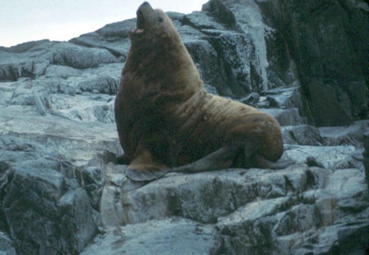 Callorhinus, ursinus, fourrure du Nord, mer lion, animal, mammifère