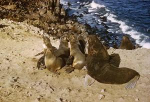fourrure, lions de mer, les animaux