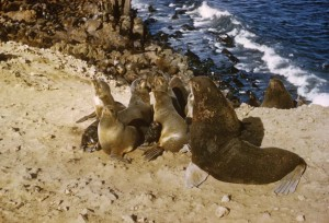 fur, sea lion, animals