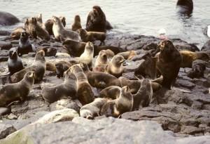 fourrure, lions de mer, les mammifères, les animaux, colonie