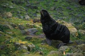 fur, sea lion, land