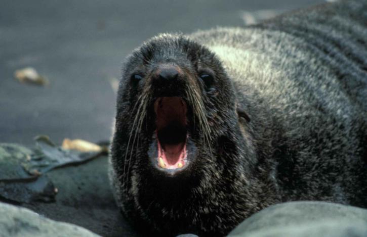 fur, sea lion, portrait