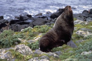 northern fur, sea lion, callorhinus, ursinus