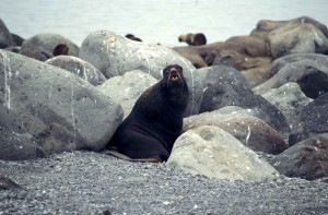 northern fur, sea lion, big, rocks, beach
