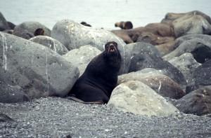 fourrure du Nord, le lion de mer, grand, rochers, plage
