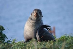 northrer, fur, sea lion, up-close, callorhinus, ursinus