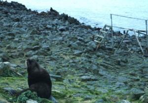 fur sea lion, coastline, beach, animal