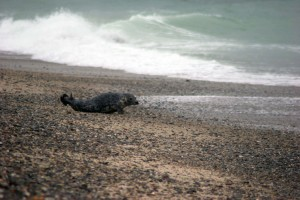 gray, sea lion, ocean, water, halichoerus, grypus