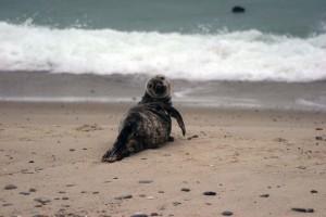 grå, sjøløve, legging, stranden, halichoerus grypus