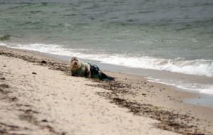 szürke, az oroszlánfóka, a tengerparton