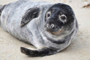 grey, sea lion, animal, halichoerus, grypus