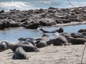 large, group, gray, sea lions, beach, halichoerus grypus
