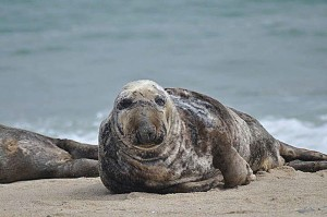 maschio, grigio, leoni marini, mammifero marino, animale, Halichoerus, grypus