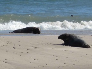 two, gray, sea lions, animals, marine mammals, beach, halichoerus, grypus