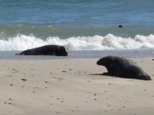 two, gray, sea lions, animals, marine mammals, beach, halichoerus grypus
