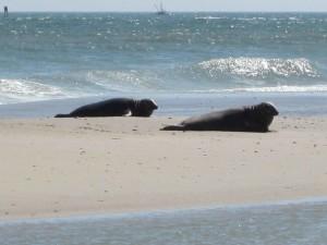 two, gray, sea lions, beach, halichoerus grypus