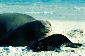 Atlantic, harbor, sea lion, female, mammal, phoca, vitulina