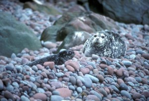 harbor, sea lion, pup, buldir, island, aleutians