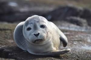 harbor, sea lion, mammal, phoca, vitulina
